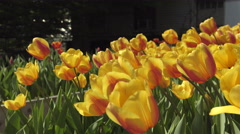 Beautiful yellow and orange tulips at botanical garden. 4K UHD. Stock Footage