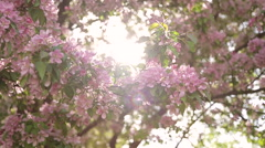 Flowering branch of Sakura,close up,the glow of the sun behind Stock Footage