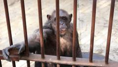 Old and sad chimpanzee in the cage Stock Footage