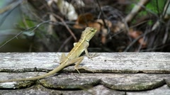 Lizard on the wooden roof Stock Footage