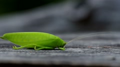 katydid on the ground - stock footage