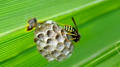 Wasp building a nest in a palm leaf (4K) Stock Footage