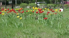 Colorful spring tulips flowerbed in the park UHD Stock Footage