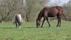 White brown horses eating grass in the ranch Stock Footage