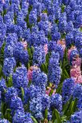 Purple Hyacinth Field Detail - stock photo