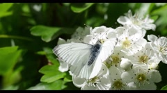 White Butterfly on Spring Blossom Stock Footage