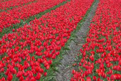 Tulip Field - stock photo