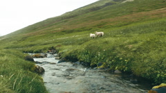 Sheep Graze at a Creek ICELAND  Stock Footage