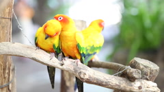 Sun conure parrot Stock Footage