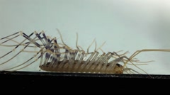 House centipede Stock Footage