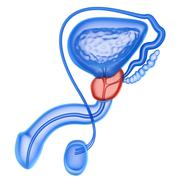 Stock Illustration of Prostate and male reproductive system isolated on white