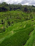 Rice Terraces near Ubud town , Bali, Indonesia - stock photo