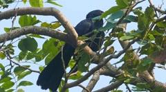 Drongo bird on tree Stock Footage