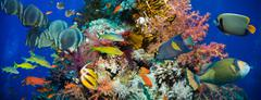 Tropical Anthias fish with net fire corals - stock photo