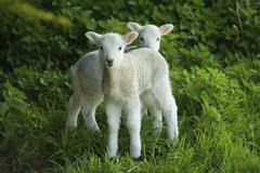 Two spring lambs alert and looking around. Stock Photos