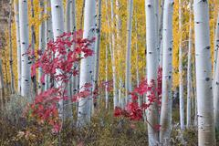 Fall colours, Wasatch Mountains forests - stock photo