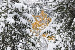 Pine trees with snow laden boughs Stock Photos