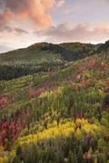 Forests of maple and aspen trees in vivid autumn colour at sunset. Stock Photos