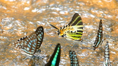 Butterfly (Spot Swordtail). in nature Stock Footage