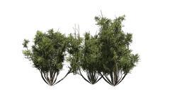 African olive shrub - isolated on white background Stock Illustration