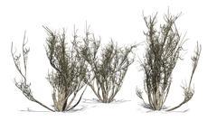African olive shrub winter - isolated on white background Stock Illustration
