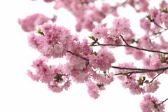 Stock Photo of Sakura or cherry Blossom in color Vintage style.
