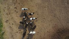 Drone footage of domestic herd of cattle on landscape Stock Footage