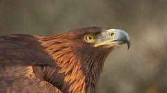 Golden eagle (Aquila chrysaetos) Stock Footage