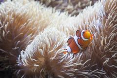 Beautiful Little Clownfish and Sea Anemone. - stock photo