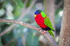 Collared Lory of the Fiji Islands on a Branch. Kuvituskuvat