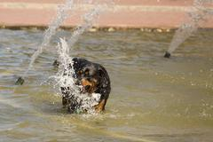 Happy Rottweiler Playing in the Water Fountain on a Hot Summer Day. Stock Photos