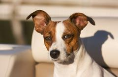 Majestic Jack Russell Terrier Dog Portrait Stock Photos