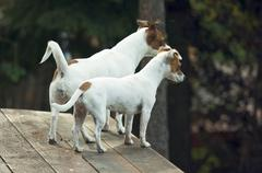 Majestic Alert Jack Russell Terrier Dogs ready for the Hunt. Stock Photos