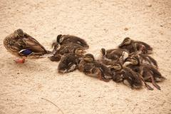 Mother Mallard Duck Rests with Ducklings Behind Her. Stock Photos