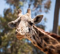 Close-up of a Majestic Giraffe Head with Narrow Depth of Field. Stock Photos