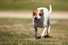 Energetic Jack Russell Terrier Dog Runs on the Grass Field. Kuvituskuvat