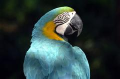 Beautiful blue and yellow macaw parrot head and shoulders - stock photo