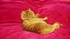 Yellow Cat Looking Camera and than Cleaning Himself Stock Footage