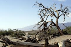 Bizarre dead trees at mesquite dunes, death valley Stock Photos