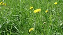Dandelion field - stock footage