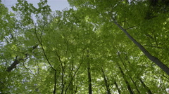 Looking up at tall trees in a forest. 4K UHD. Stock Footage