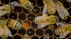 Honey bees on honeycomb Stock Footage