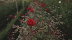 View of rose plantation in greenhouse - stock footage