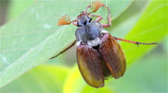 On a leaf chafer Stock Footage