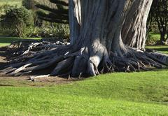 Giant tree roots of Douglas fir tree in parkland, Auckland New Zealand - stock photo