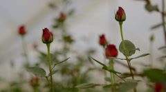 Rose plantation in greenhouse - stock footage