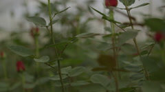 View of rose plantation Stock Footage