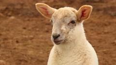Close Up Of Lamb Stock Footage