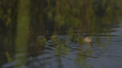 Two ducks swimming in pond Stock Footage