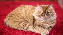 Yellow Cat Yawning - Ready to Sleep Stock Footage